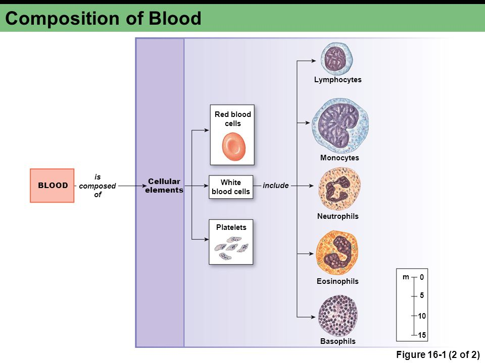 Composition of Blood Figure 16-1 (2 of 2) Lymphocytes Red blood cells