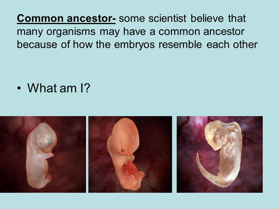Common ancestor- some scientist believe that many organisms may have a common ancestor because of how the embryos resemble each other