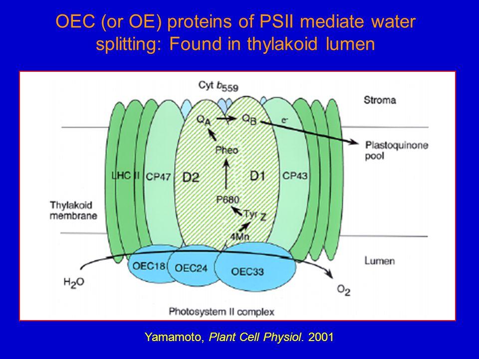 OEC (or OE) proteins of PSII mediate water splitting: Found in thylakoid lumen