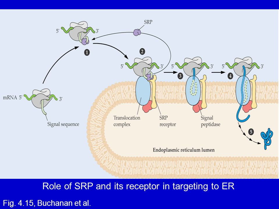 Role of SRP and its receptor in targeting to ER