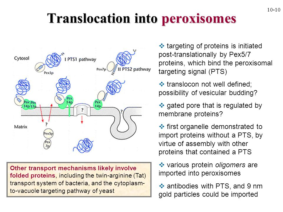 Translocation into peroxisomes