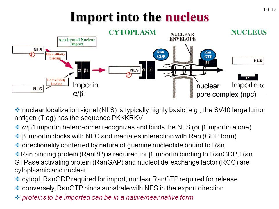 Import into the nucleus