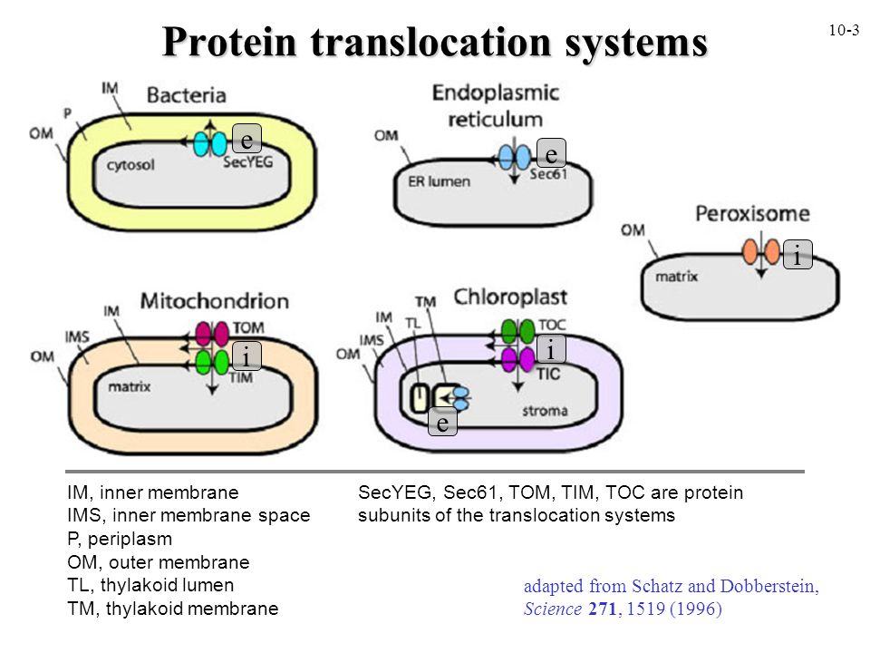 Protein translocation systems