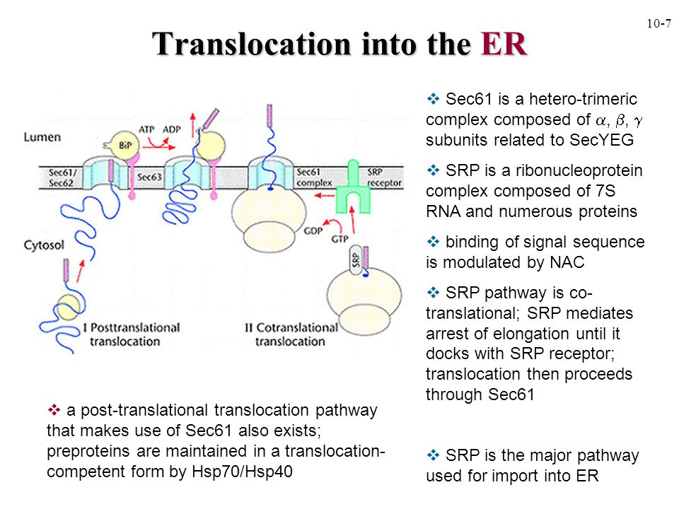 Translocation into the ER