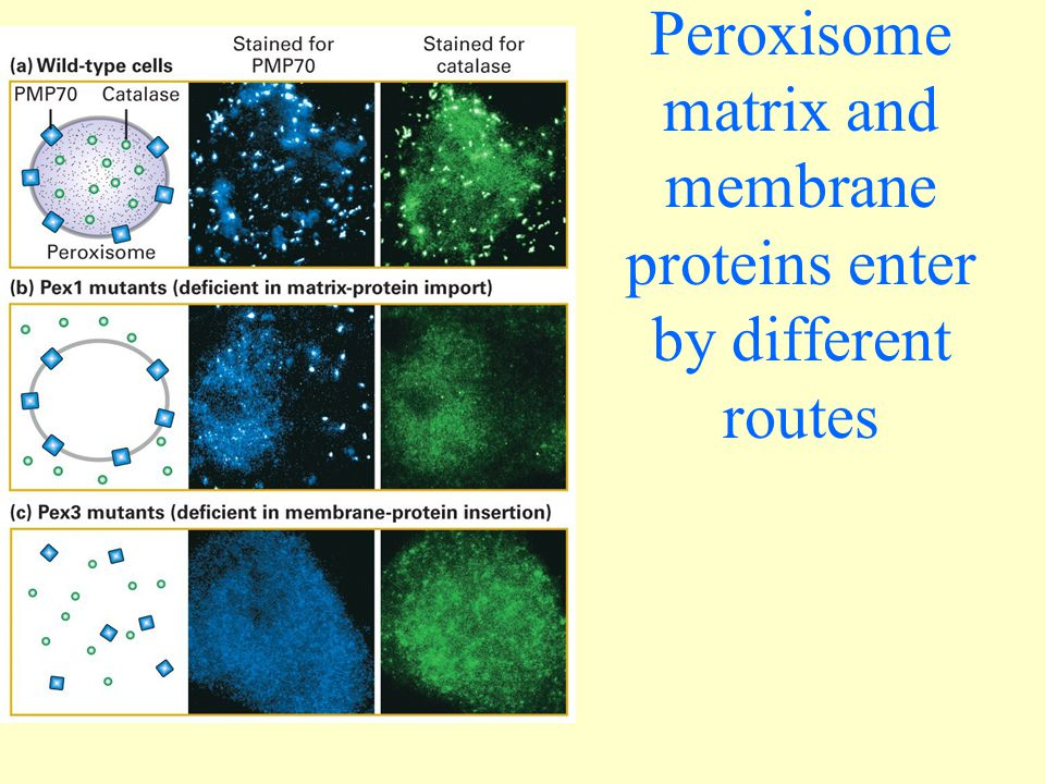 Peroxisome matrix and membrane proteins enter by different routes