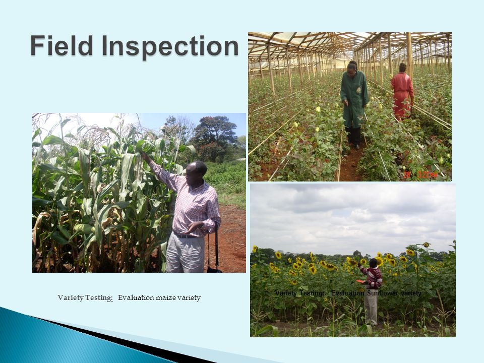 Field Inspection Variety Testing: Evaluation maize variety