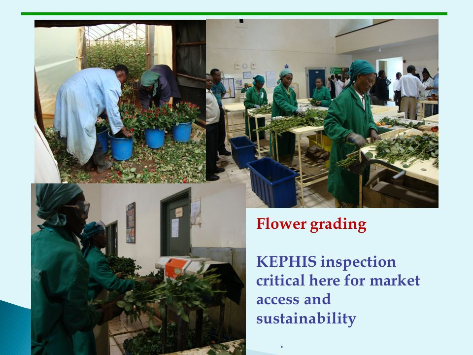 Flower grading KEPHIS inspection critical here for market access and sustainability .