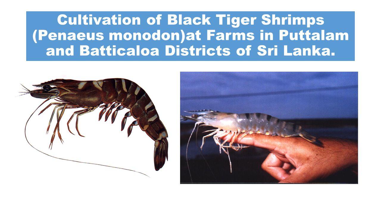 Cultivation of Black Tiger Shrimps (Penaeus monodon)at Farms in Puttalam and Batticaloa Districts of Sri Lanka.