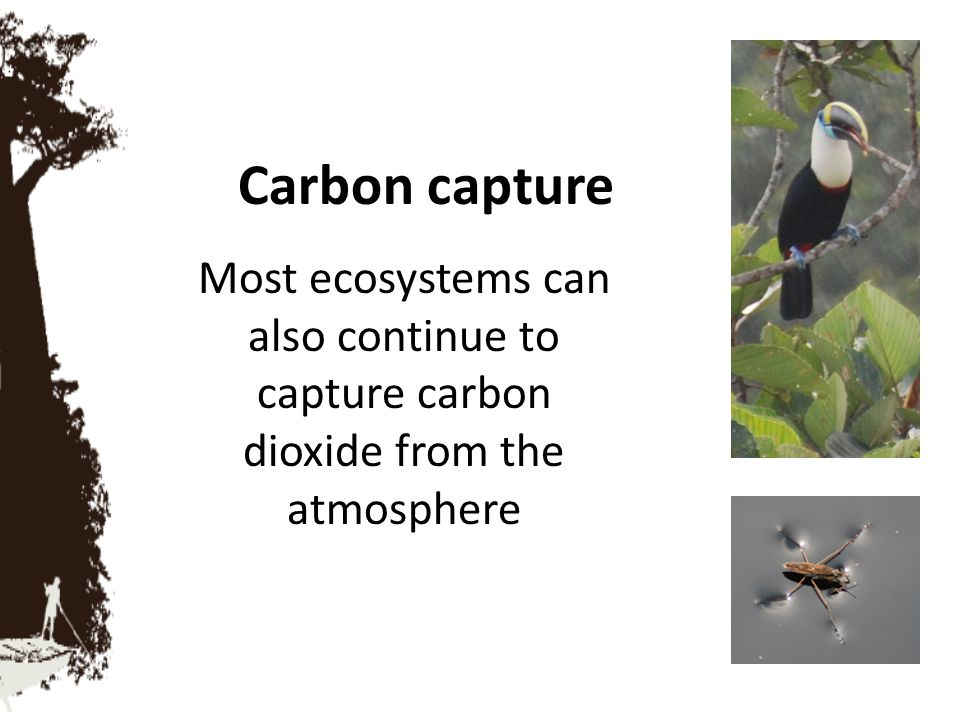 Carbon capture Most ecosystems can also continue to capture carbon dioxide from the atmosphere