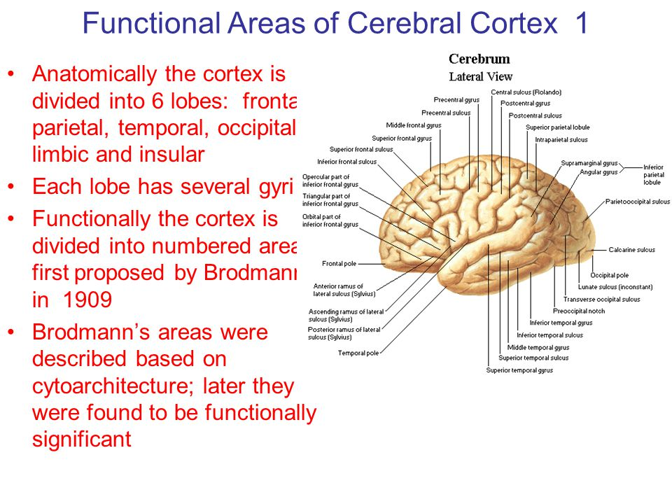 Functional Areas Of Cerebral Cortex 1 Ppt Video Online Download