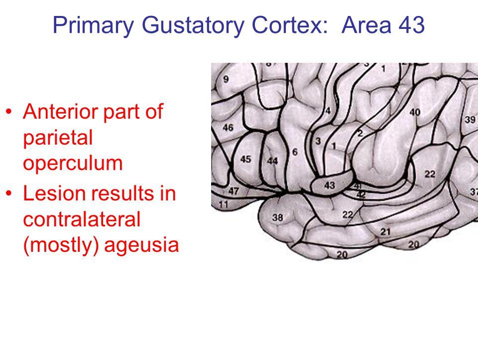 Primary Gustatory Cortex: Area 43