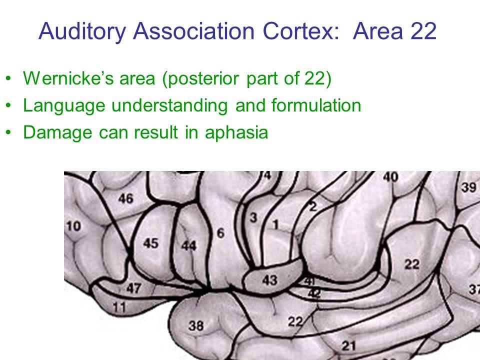 Auditory Association Cortex: Area 22