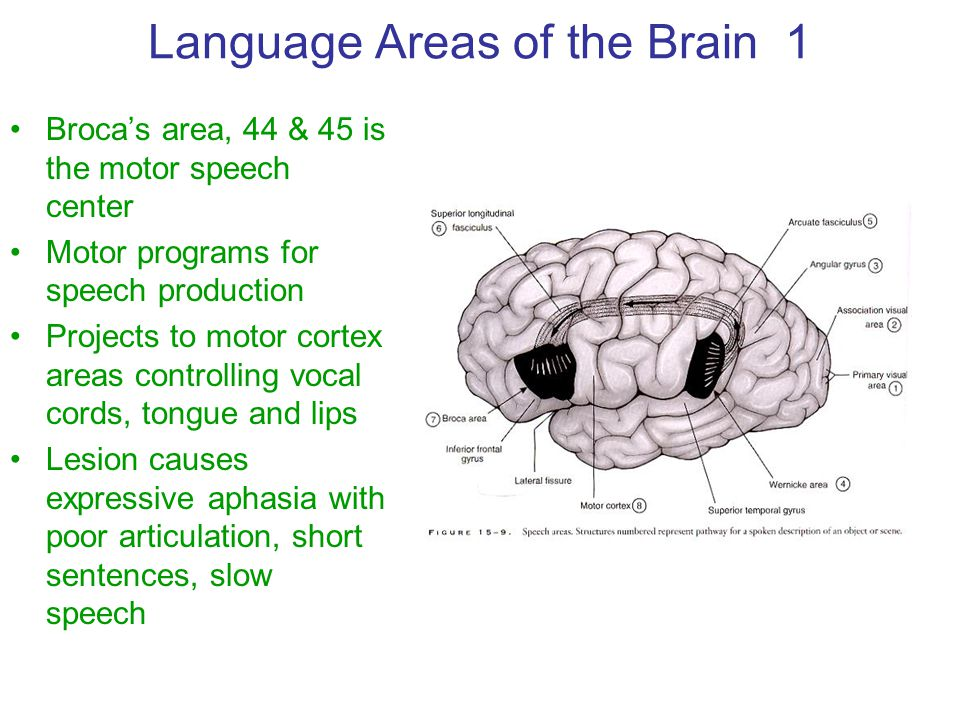 Language Areas of the Brain 1