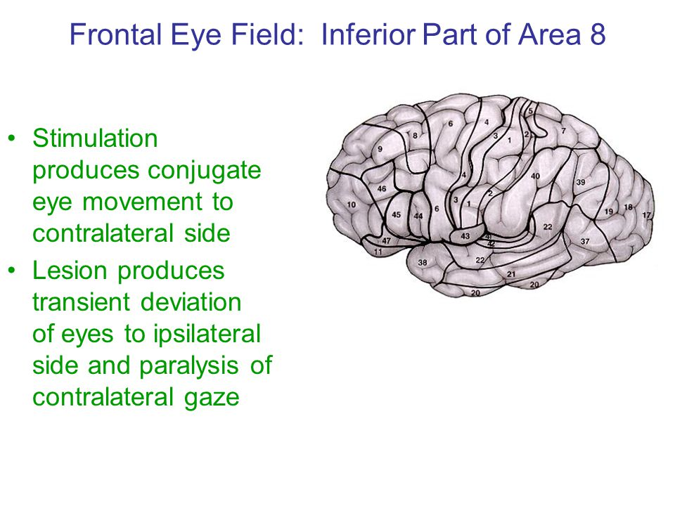 Frontal Eye Field: Inferior Part of Area 8