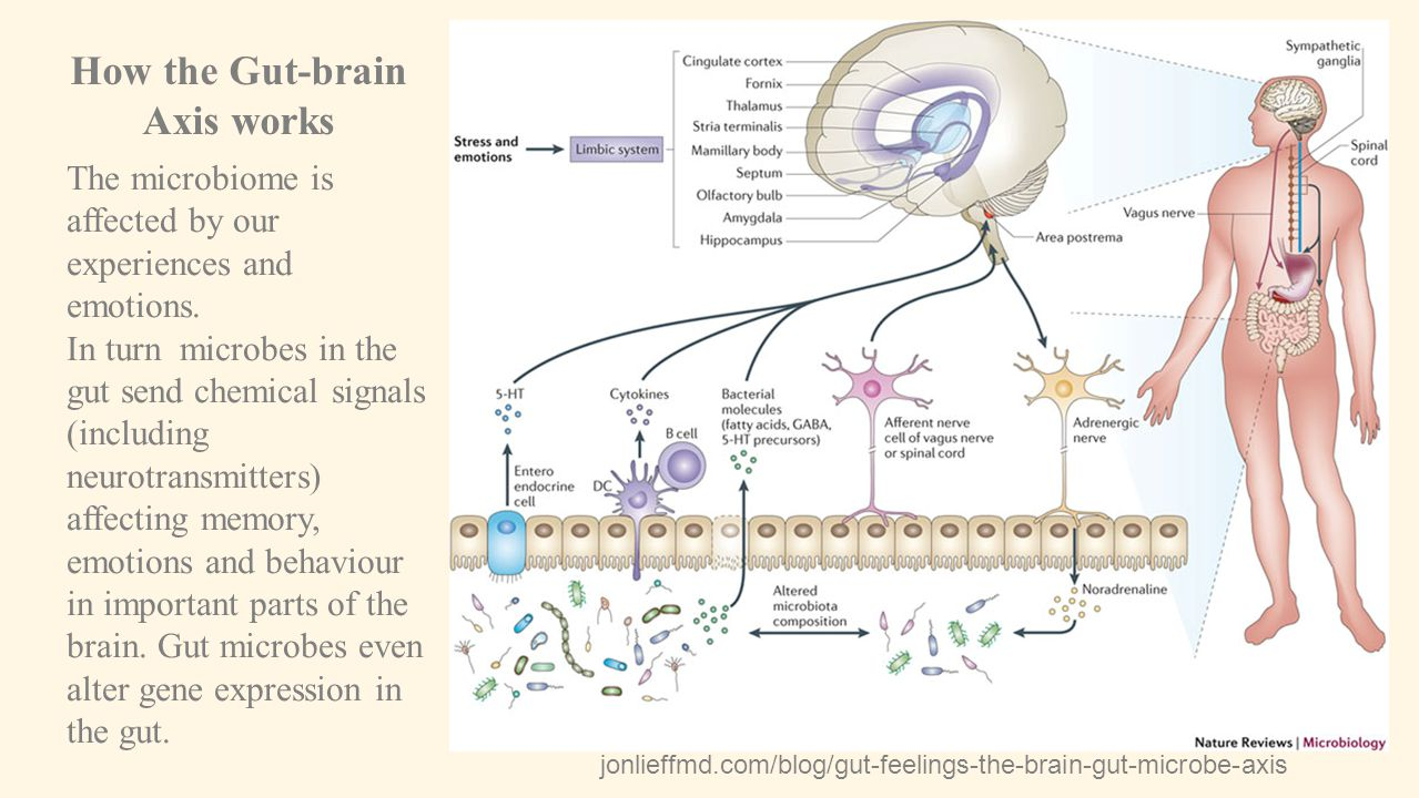 How the Gut-brain Axis works
