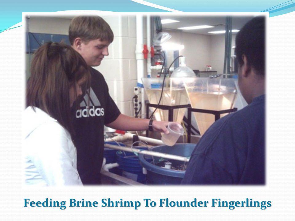 Feeding Brine Shrimp To Flounder Fingerlings