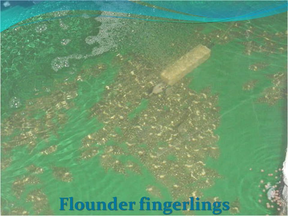 Flounder fingerlings