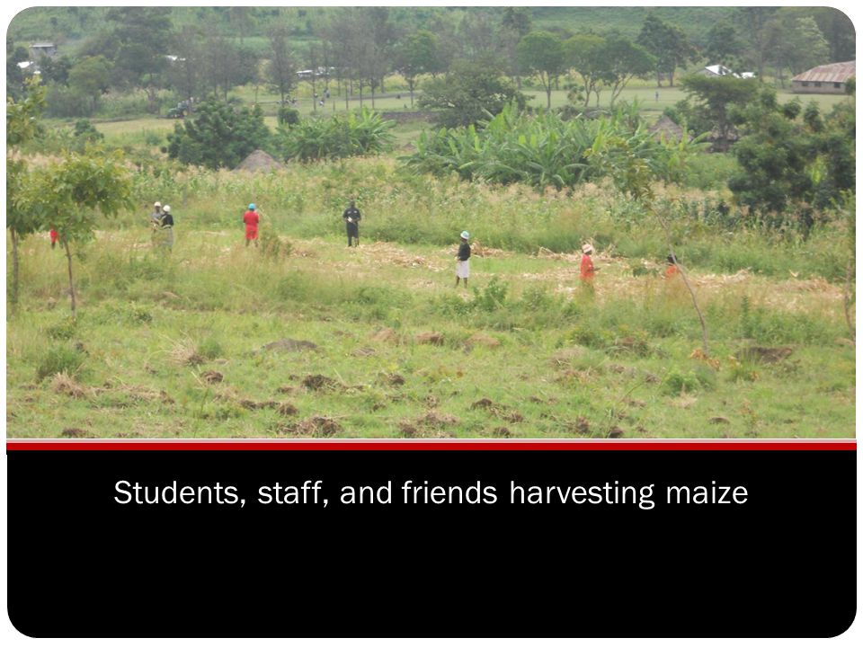 Students, staff, and friends harvesting maize