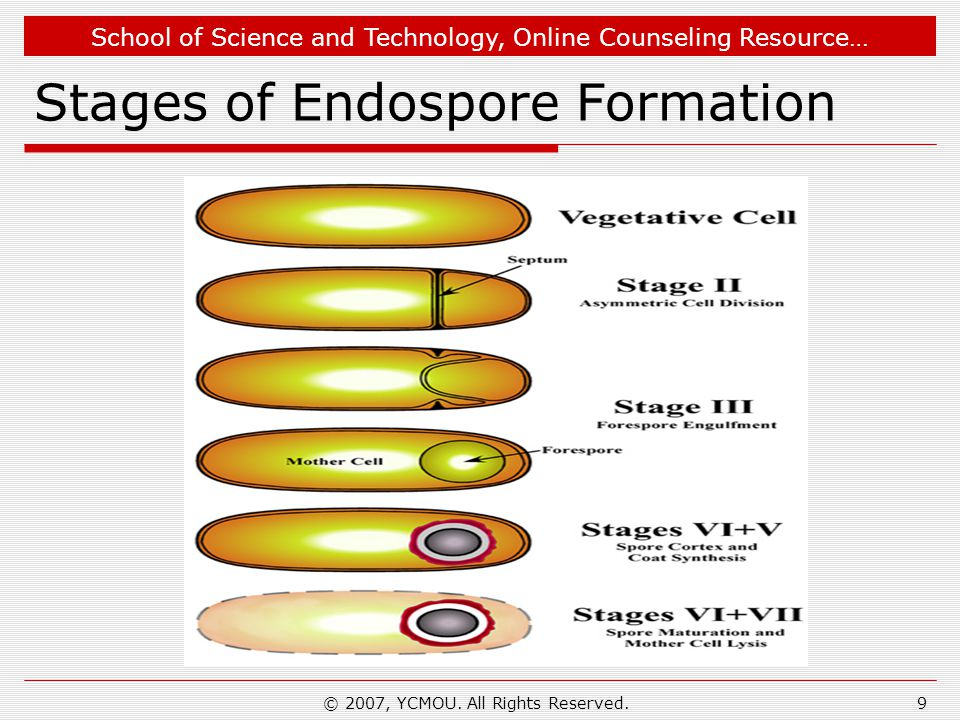 Stages of Endospore Formation