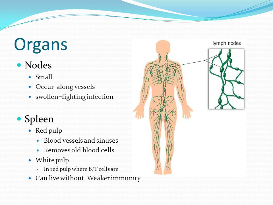 Organs Nodes Spleen Small Occur along vessels