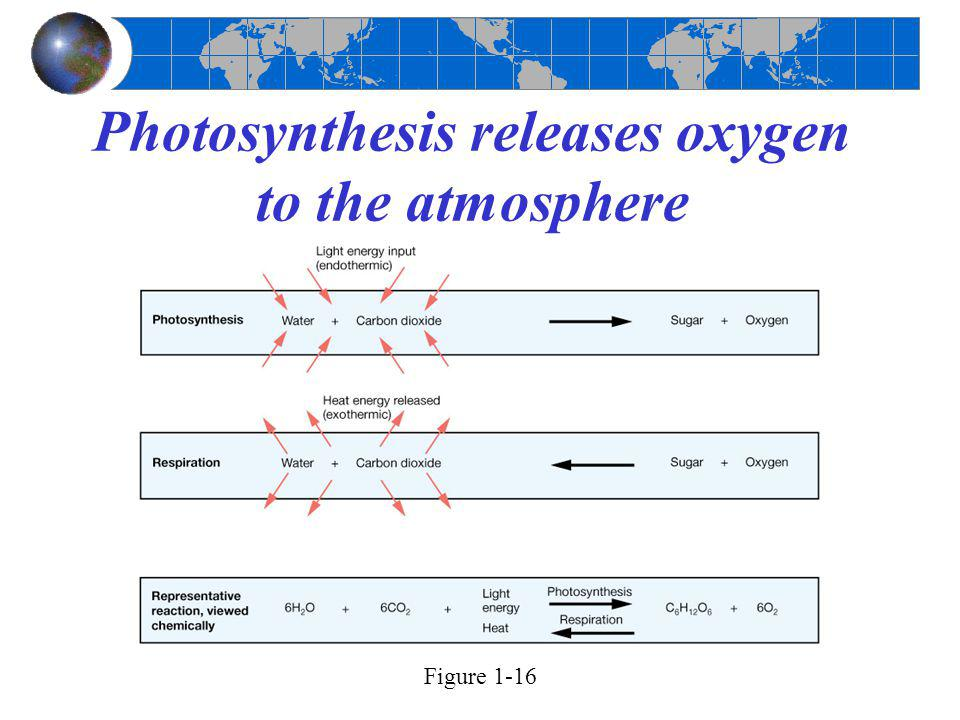 Photosynthesis releases oxygen to the atmosphere