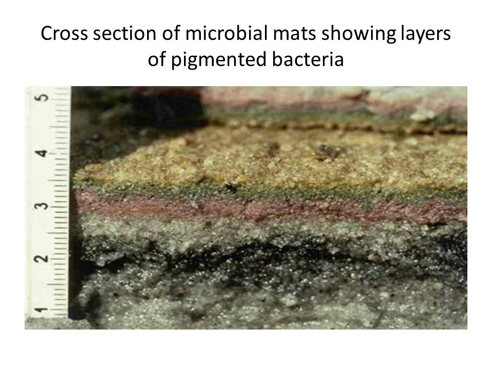 Cross section of microbial mats showing layers of pigmented bacteria