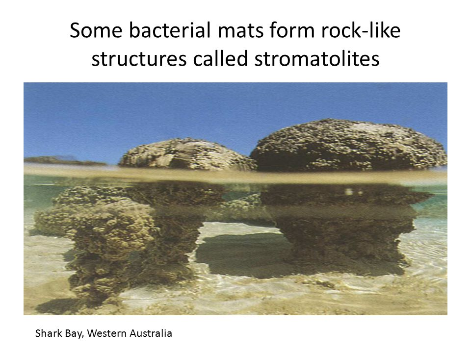 Some bacterial mats form rock-like structures called stromatolites