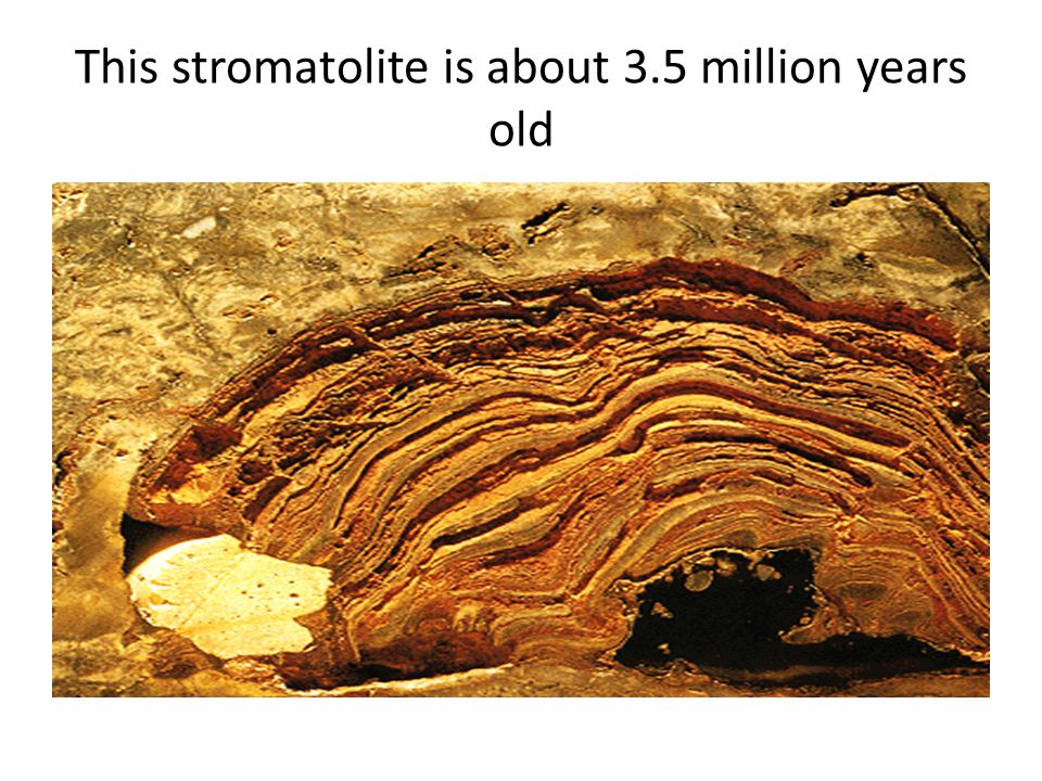 This stromatolite is about 3.5 million years old