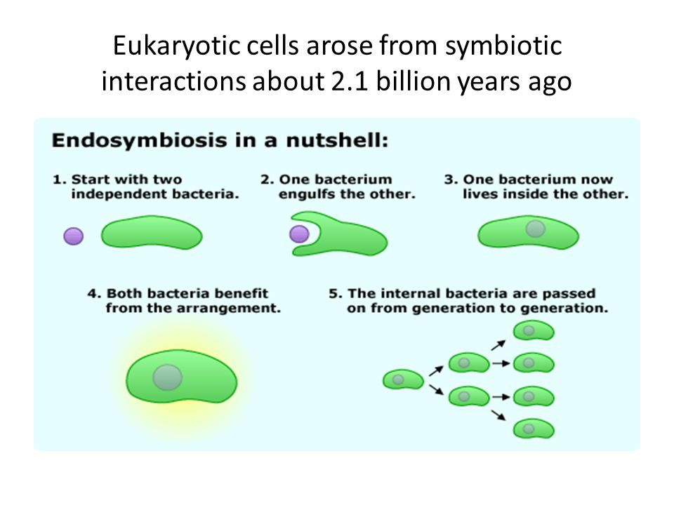 Eukaryotic cells arose from symbiotic interactions about 2