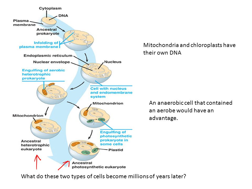 Mitochondria and chloroplasts have their own DNA
