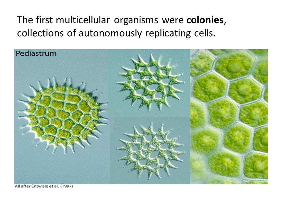 The first multicellular organisms were colonies, collections of autonomously replicating cells.