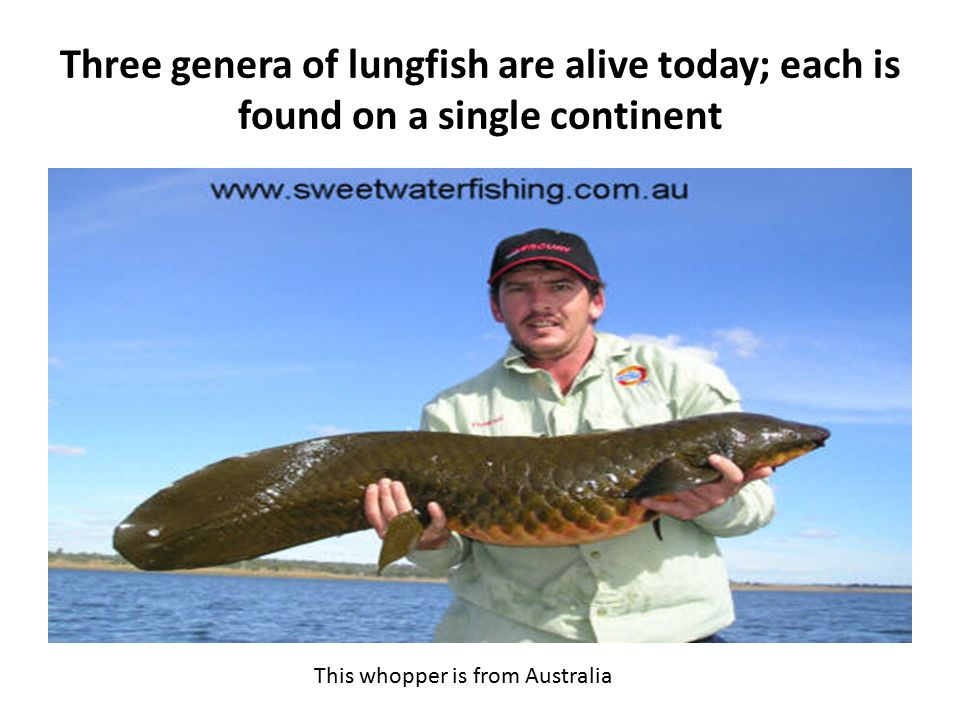Three genera of lungfish are alive today; each is found on a single continent