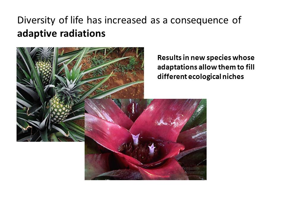 Diversity of life has increased as a consequence of adaptive radiations