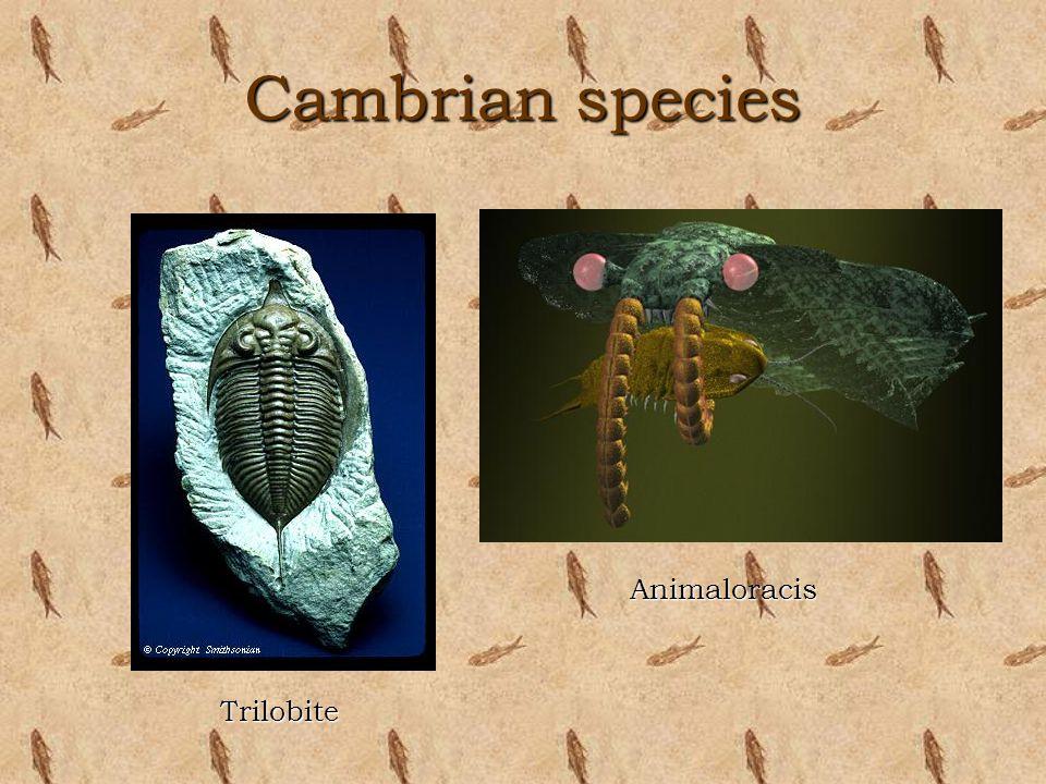 Cambrian species Animaloracis Trilobite