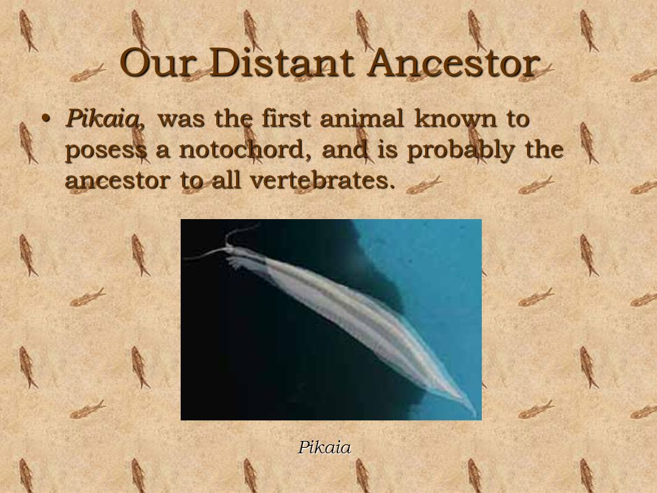 Our Distant Ancestor Pikaia, was the first animal known to posess a notochord, and is probably the ancestor to all vertebrates.