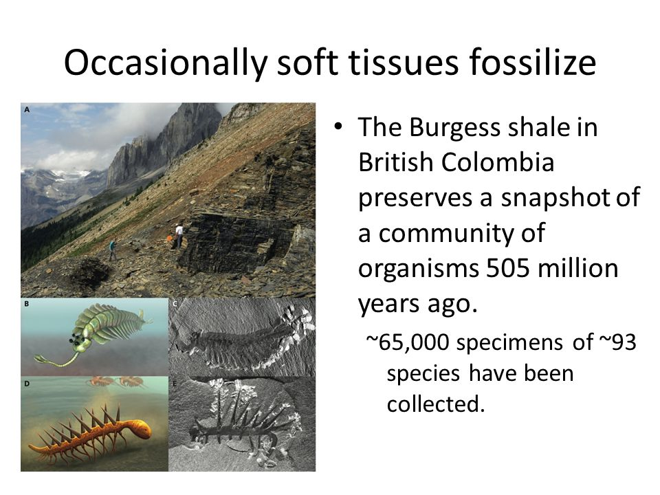 Occasionally soft tissues fossilize