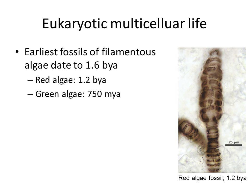Eukaryotic multicelluar life