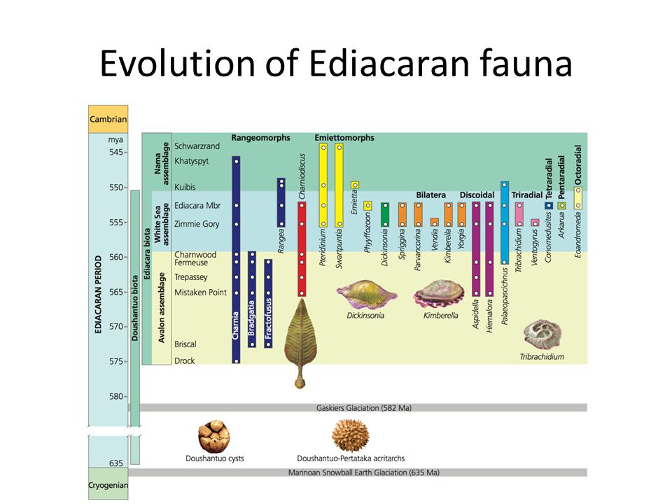 Evolution of Ediacaran fauna