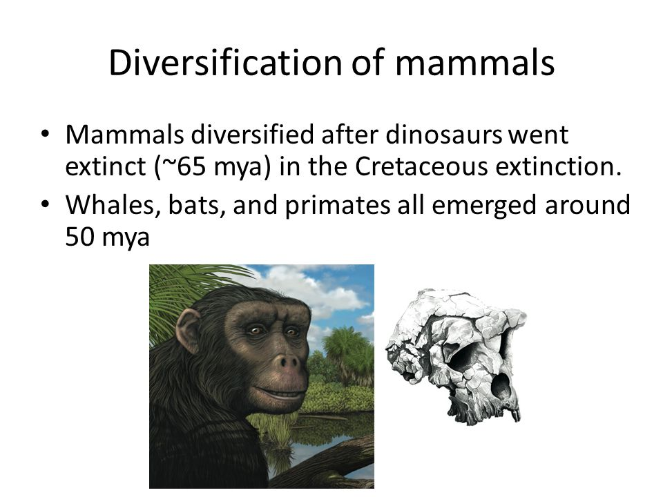 Diversification of mammals