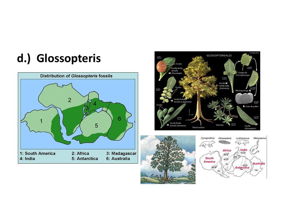 d.) Glossopteris