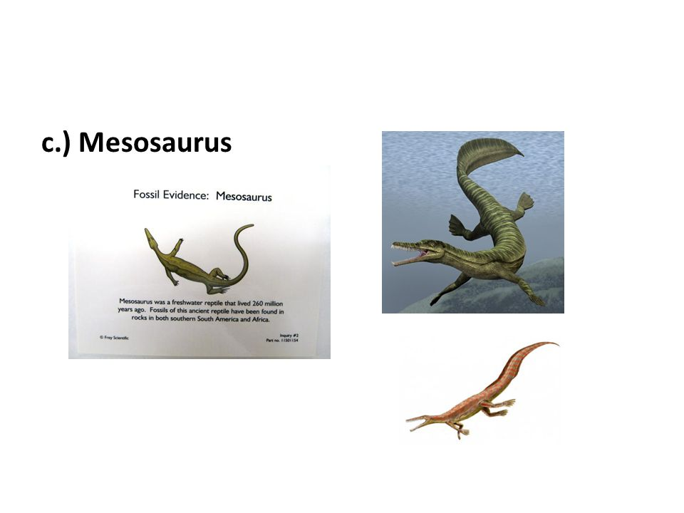 c.) Mesosaurus