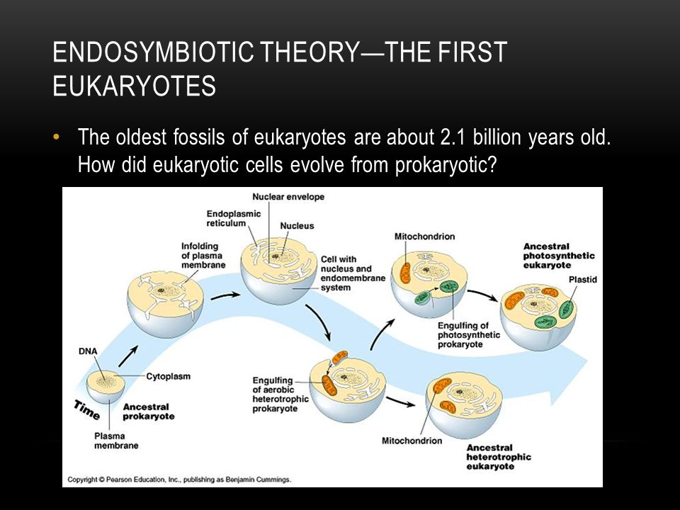Endosymbiotic theory—the first eukaryotes