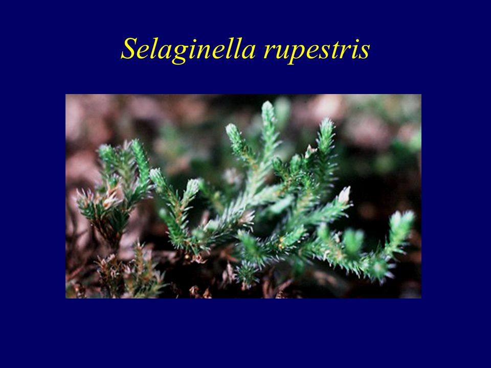 Selaginella rupestris