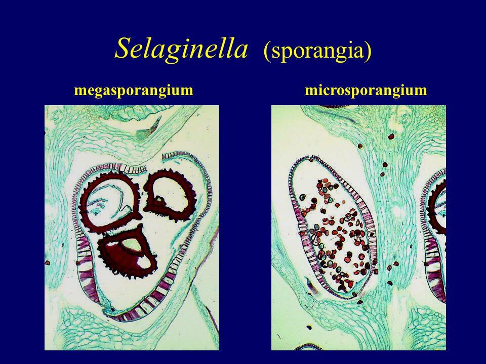 Selaginella (sporangia)