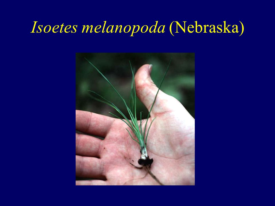 Isoetes melanopoda (Nebraska)
