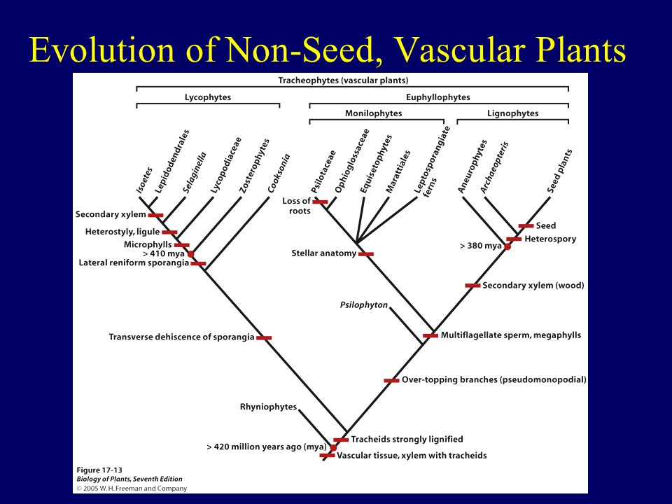 Evolution of Non-Seed, Vascular Plants