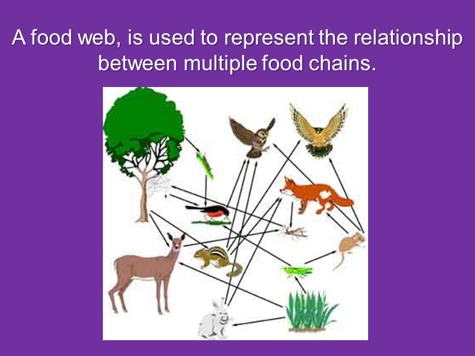 A food web, is used to represent the relationship between multiple food chains.