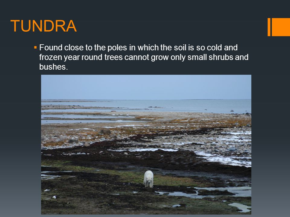 TUNDRA Found close to the poles in which the soil is so cold and frozen year round trees cannot grow only small shrubs and bushes.