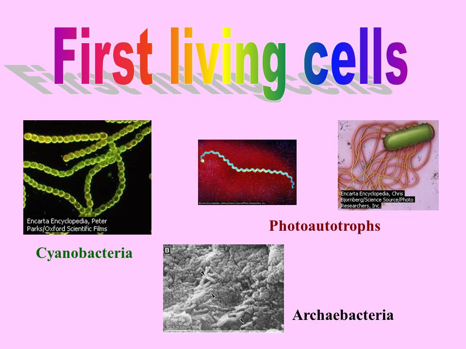 First living cells Photoautotrophs Cyanobacteria Archaebacteria