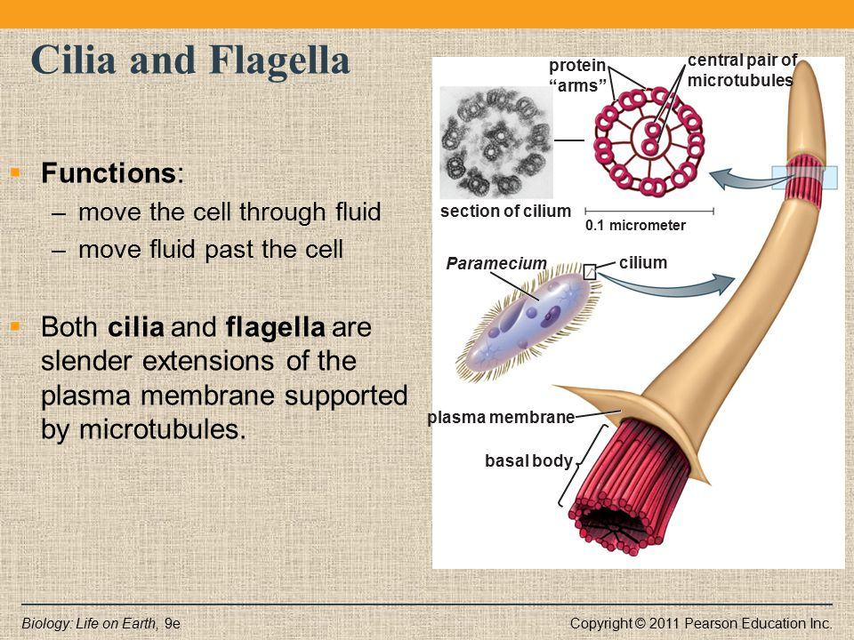 Cilia and Flagella Functions: